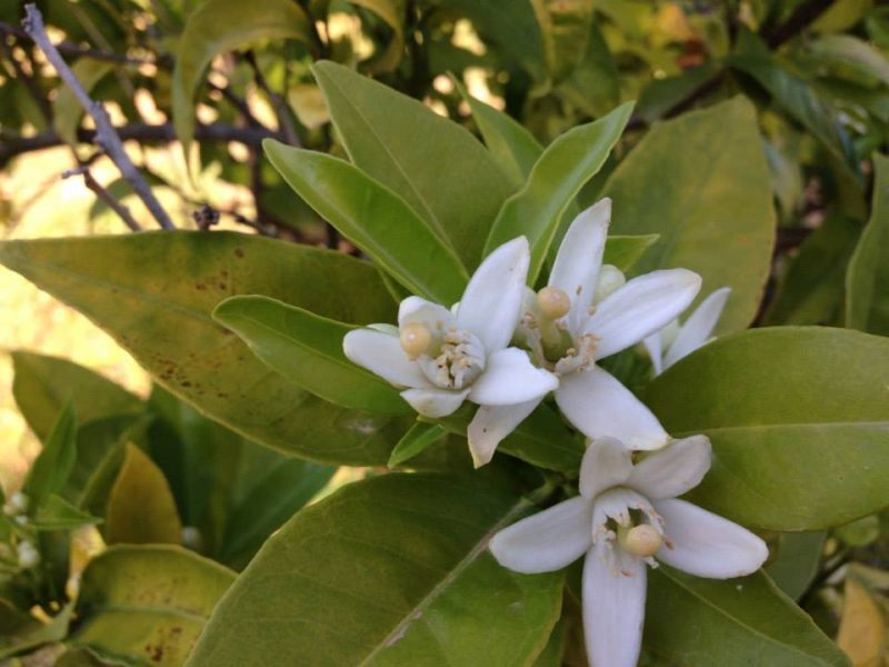 Azahar Orange Blossoms in Valencia