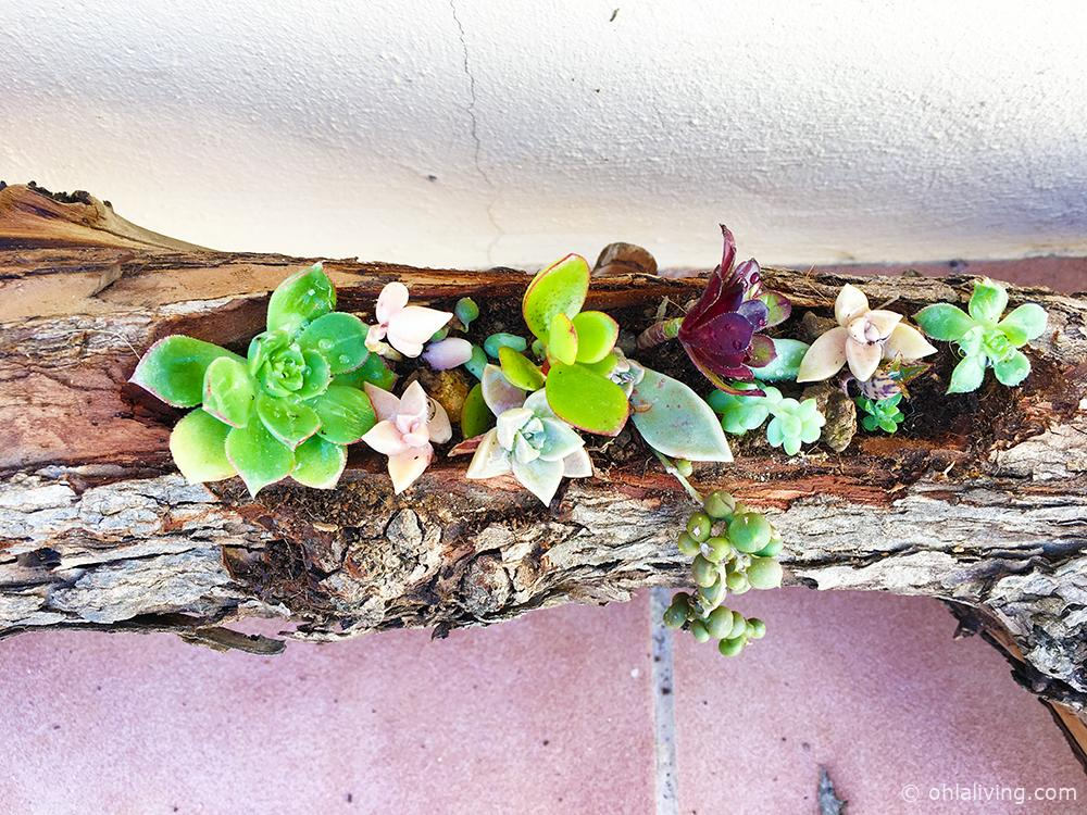 Log Planter for Succulents