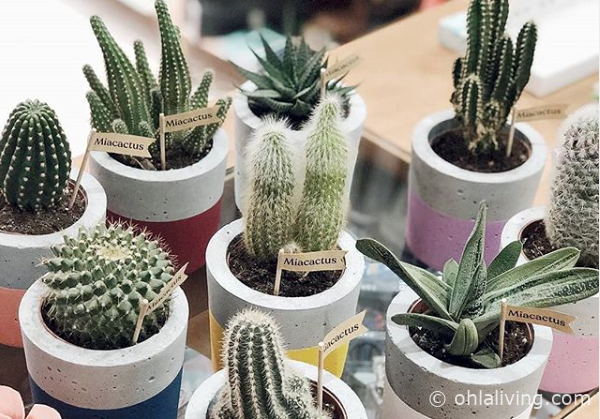 buy cactus and succulents